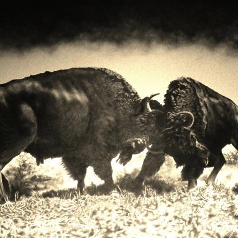 Bison - graphite/paper, 48x60