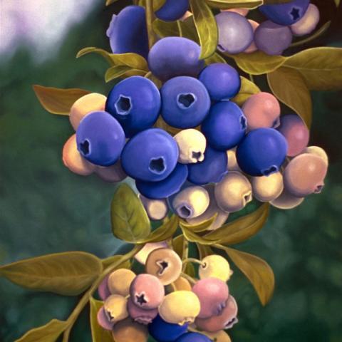 Blueberries - oil/masonite, 32x48