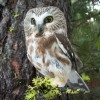 Saw-whet Owl - photo