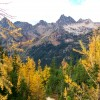 Mountain Larch - photo
