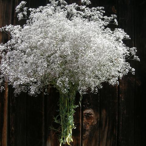 Petticoat Lace Gyp