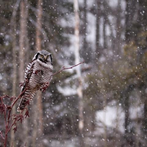 Northern Hawk Owl, BC, Canada (16