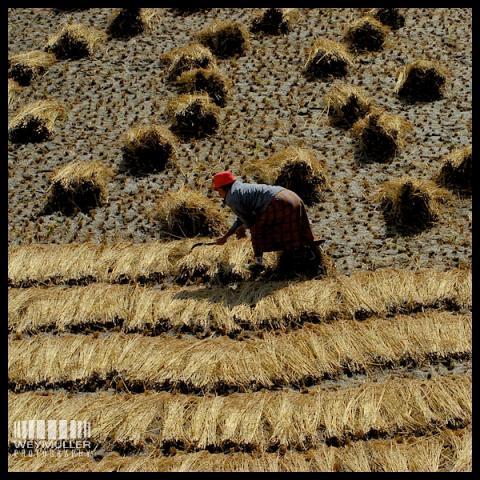 Harvest - Paro, Bhutan