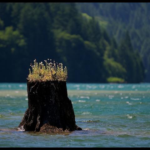 Stump - North Cascades