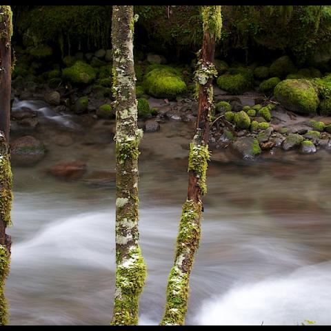 Tree Banks - Zig Zag River, OR