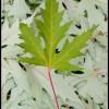 Leaves 1 - Mazama, WA