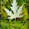 Leaves 2 - Mazama, WA