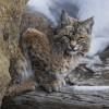 Bobcat Yellowstone